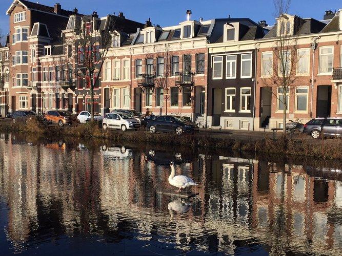 Een suppende zwaan in Amsterdam-Oost
