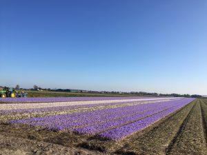 Programme touristique avec le guide privé au-dessus Amsterdam: fleurs, bulbes, tulipes
