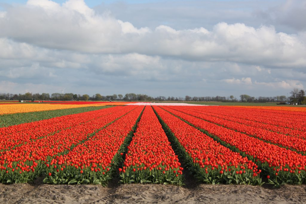 Balade privé à vélo le long des champs tulipes au-dessus d'Amsterdam - Lexperience avec Lex and the City