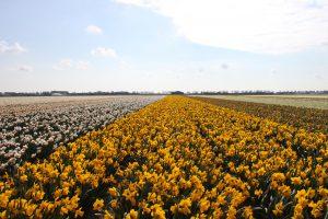 Excursion en vélo privé aux bulbes de fleurs avec votre guide sportif d'Amsterdam et au-dessus