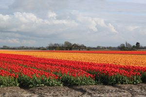 Langs de tulpen op de fiets in de kop van Noord-Holland met Lex and the City