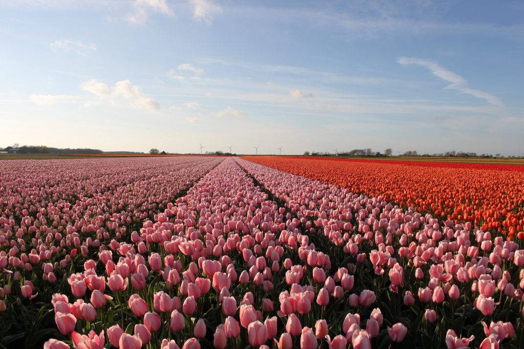 unusual tour Amsterdam, including an excursion to the tulips and bulbs north of the capital.