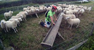 Lex van Buuren on inline skates and surrounded by sheep on Texel Island